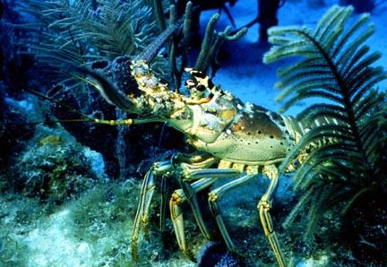 Lobster Underwater The Clara Taylo...
